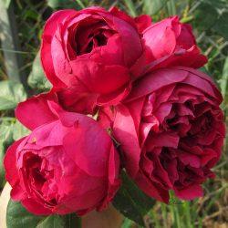 Điểm mặt các loại hoa hồng đẹp nhất thế giới